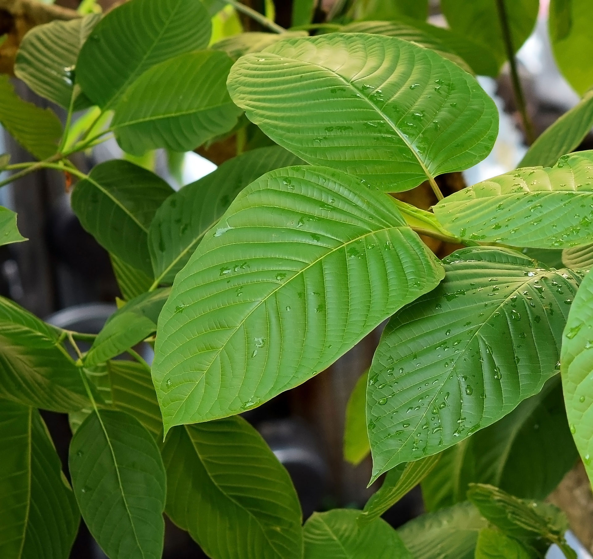 best kratom for pain relief